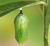pic of chrysalis
