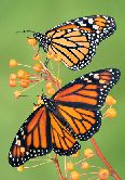 monarch butterfly pic