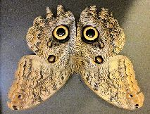 pic of owl butterfly